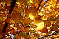 Autumn Leaves in the Sun (1502137080).jpg