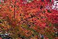 Autumn leaves in Gekū.jpg