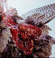 Avian tuberculosis 5.jpg