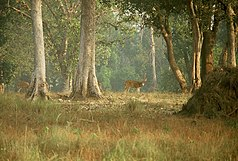 Axishirsche im Kanha-Nationalpark