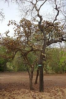 <i>Terminalia macroptera</i> species of plant