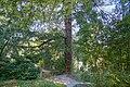 Badenweiler - Kurpark - Douglasfichte (22).jpg