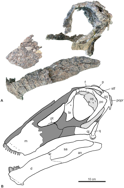 Bajadasaurus skull