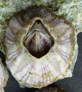 <i>Amphibalanus amphitrite</i> species of crustacean