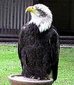 Bald.eagle.longshot.arp.500pix.jpg