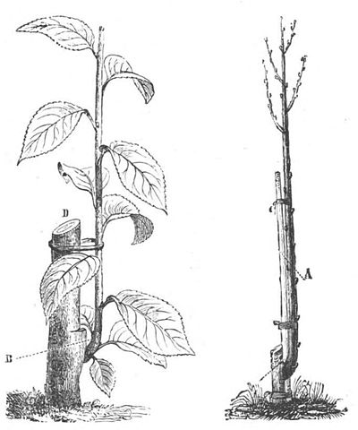 Baltet - L'art de greffer - fig103.jpg