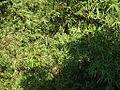 Bamboo leafs.JPG
