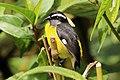 Bananaquit (Coereba flaveola luteola).jpg