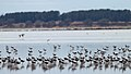 Banded Stilts and Red-necked Avocets (23868342614).jpg