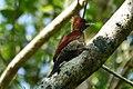Banded woodpecker (31028661687).jpg