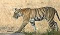Bandhavgarh-kanha 6.jpg