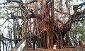 Banyan Tree at Terekhol - panoramio.jpg