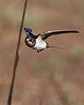 Barn swallow, Hirundo rustica, at Suikerbosrand Nature Reserve, Gauteng, South Africa (23374932345).jpg