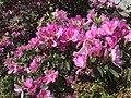 Bauhinia variegat.jpg