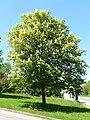 Baum Wurzbach.jpeg