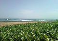 Beach Morning Glory (Ipomoea pes-caprae) at Bheemunipatnam 01.jpg