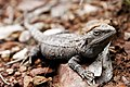 Bearded dragon04.jpg
