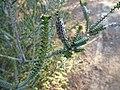 Beaufortia orbifolia (fruits).JPG