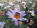 Bee Halictidae 6101.jpg