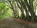 Beech trees at Berrynarbor - geograph.org.uk - 1393304.jpg
