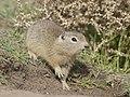 Belding's Ground Squirrel DSC4862vv.jpg