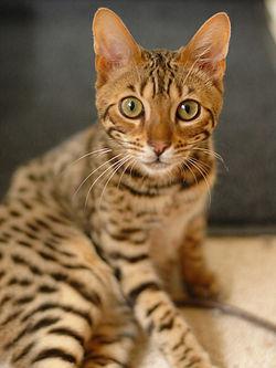 Bengal House Cat Vs Savannah House Cat