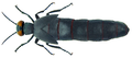 Berberomeloe insignis (Charpentier, 1818).png