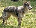 Perro pastor - Wikipedia, la enciclopedia libre