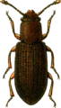 Berginus tamaricis Jacobson.png