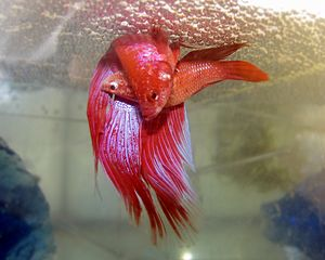 Siamese fighting fish - A pair spawning under a bubble nest in a breeder's tank
