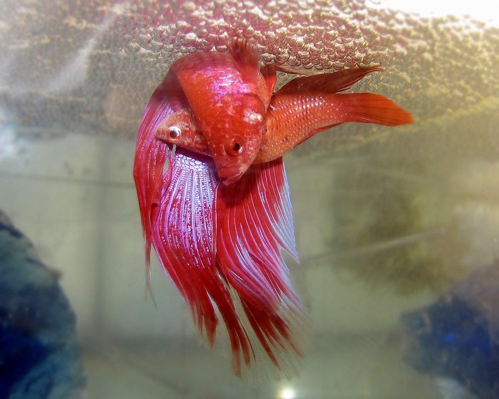 Betta spawning