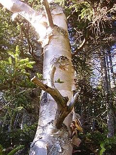 <i>Betula cordifolia</i> Species of birch