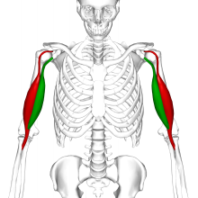 biceps - wikipedia, Human Body
