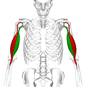 Biceps brachii muscle06.png