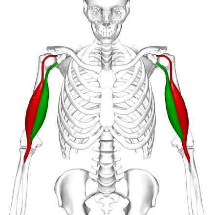 Biceps - Wikiwand