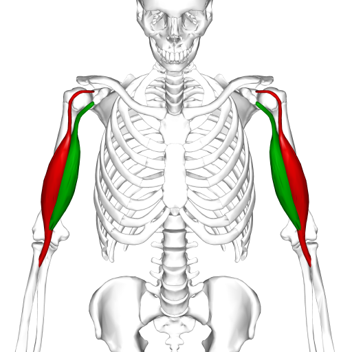 Biceps brachii muscle06