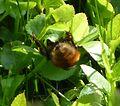 Bilberry Bumblebee. Bombus monticola Queen - Flickr - gailhampshire (1).jpg