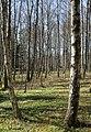 Birch forest Gullmarsskogen 4.jpg