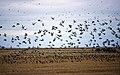 Bird Migration at Oak Hammock Marsh (48241173106).jpg