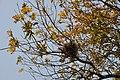 Bird Nest - Howrah 2011-02-13 1376.JPG