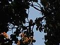Bird White throated Brown Hornbill Anorrhinus austeni IMG 8142 03.jpg