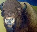 Bison bison 7zz.jpg