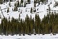 Bison grazing in winter.jpg