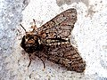 Biston strataria (Geometridae) - (imago), Arnhem, the Netherlands.jpg