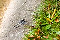 Black-Tailed Skimmer - Male - 9-23-14 - Bois de Vincennes, Paris, France (19961952270).jpg