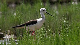 Black-Winged Stilt (Himantopus himantopus) (3).jpg