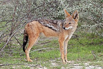 Black-backed jackal - C. m. mesomelas Etosha National Park, Namibia