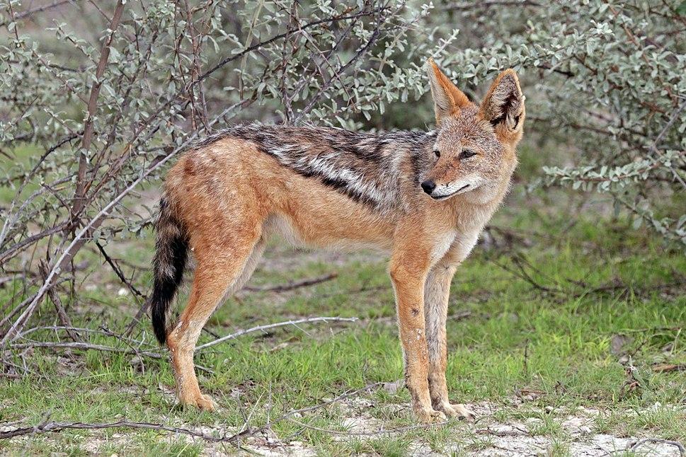 Black-backed jackal (Canis mesomelas mesomelas) 2