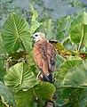 Black-collared Hawk (Busarellus nigricollis) (25640101308).jpg
