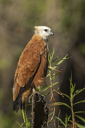 Black-collared hawk (Busarellus nigricollis).jpg